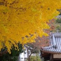 春日神社の銀杏