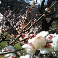 梅の花見です。