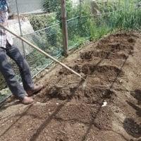 生姜種植える