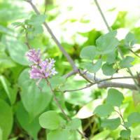 我家の庭の花 ライラック