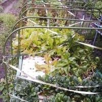 我が家の水耕栽培