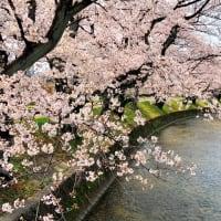五条川の桜を見に行きました。