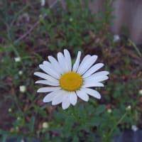 ビェネッタ開花しました。