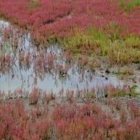 秋の風物詩サンゴソウの見どころはどこ?