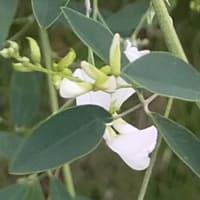 小次郎と秋の七草-シロバナハギ(白花萩)-