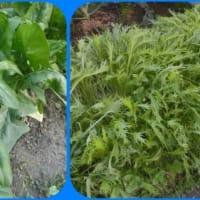 家庭菜園:冬野菜の収穫