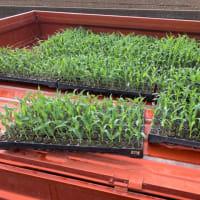 トウモロコシの定植③回目