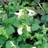 ウメバチソウ キバナアキギリ ヤマトリカブト アケボノソウの花