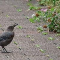 日曜散歩:イソヒヨドリもヒバリも幼鳥