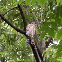 この枝にとまっているのは、ツミの若鳥。