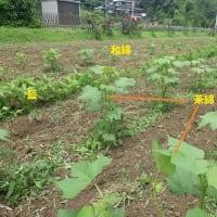 和綿畑,茶綿畑,そして藍畑の耕耘除草