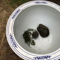庭作り68日本庭園編(26)・・メダカ鉢を置く。