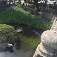 道の駅笠岡ベイファーム「ポピーフェスティバル2019」と菅原伊神社の「眼鏡橋」へドライブ!