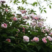 ポールズ・ヒマラヤン・ムスクが、ピンク色から白い色に変わっていきます!