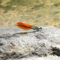 川蜻蛉ここが住処か岩の上