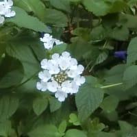 松坂投手の引退試合がありました ~地域の花:トサミズキ、バラなど~
