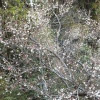 梅が五分咲き!