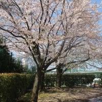4/2 晴れたので黒須田をウォーキング~そろそろ葉桜になりつつ