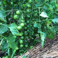 ミニトマトとカサブランカ