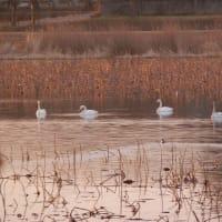 白鳥の沼。(沼って微妙な響きだな)