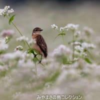 今日の鳥コレクション・・・蕎麦ノビ