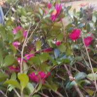 梅の枝を切って山茶花と束にして出荷しています