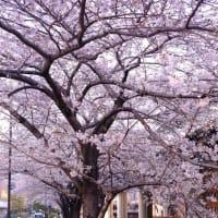【桜】FUJIFILM X-E4にXF27を付けて水道橋新三崎橋の桜並木撮ってきた Shot cherry blossom on X-E4 w/XF27 at Suidobashi, Tokyo.