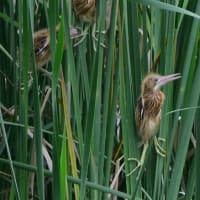 ヨシゴイの幼鳥は、緑色の足だった。
