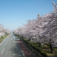 大学通りの桜 2015