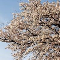 あの。。。散歩道の『桜』