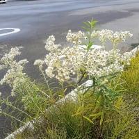 お花で一休み(114) ヤマハハコ