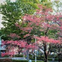 ハナミズキ 花水木 赤