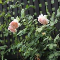 8月上旬に咲いているバラと花壇の様子