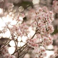 2021.2.27 クマノザクラの状態を見にぐるっと(熊野市紀和町〜育生町〜神川)