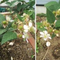 ブラックベリーの花と実
