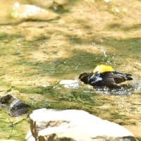 キビタキの水浴び