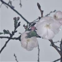 八重の桜 瀬戸内町古仁屋 油井岳園地 3/30日