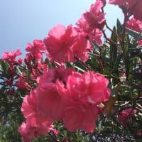 屋久島の夏の花