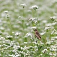 白そばの花畑でノビタキ~④~