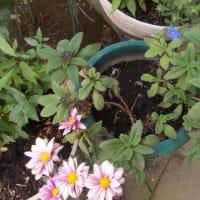 暑さの中で懸命なリハビリ、助けてくれるのは利用者が持ってきてくれる花。なんと鈴虫まで鳴き続けている。