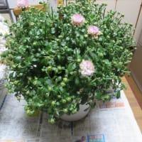 「福」の街おこしコンセプトー市長候補者に・・・菊の花は本願成就の花?
