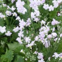 メローシャワーの花は