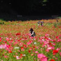 くりはま花の国~ポピー園