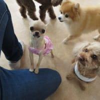 幼稚園体験にきてくれた【デイジーちゃん】  犬のしつけ教室@アロハドギー