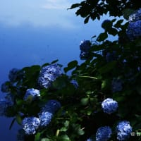 水辺の花、紫陽花