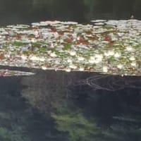 ■【映像で見る カシャリ!ひとり旅】明治神宮2 「初夏の明治神宮」 南池の水面を飾る睡蓮