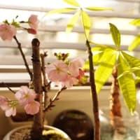 我が家の一才桜が開花しました~