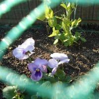 サトウキビとミニ菜園と