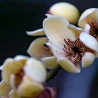 バナナの香りのするカラタネオガタマ