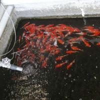 腹痛と錦鯉紅白